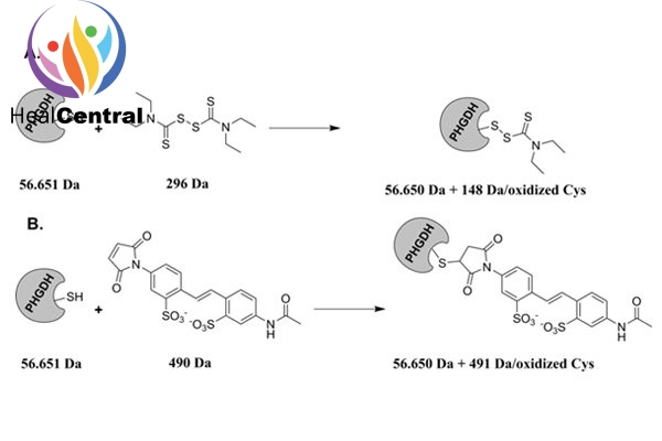 Cơ chế đề xuất tương tác với PHGDH của disulfiram và 4-acetamido-4′-maleimidylstilbene-2,2′-disulfonic acid