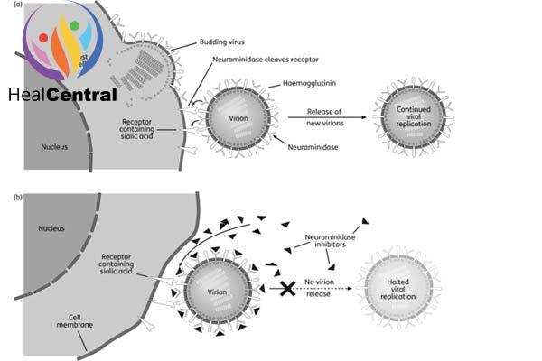 Sự nhân lên của virus cum A khi co/ không có mặt chất ức chế