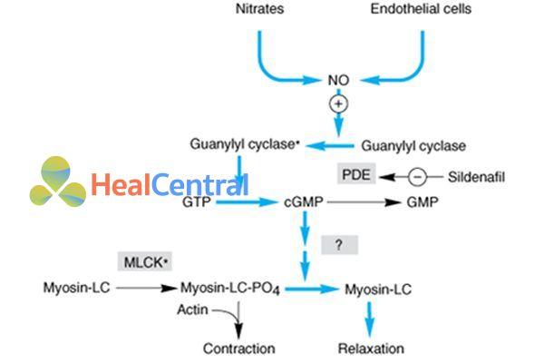 Cơ chế hoạt động của các nitrate hữu cơ.
