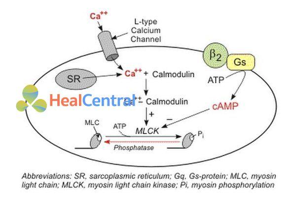 Cơ chế tác dụng của thuốc chẹn kênh calci.
