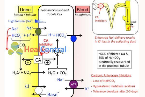Cơ chế tác dụng lợi tiểu ức chế men CA