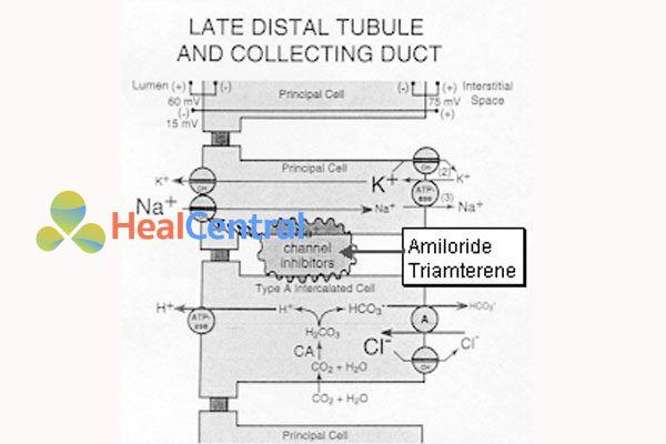 Cơ chế tác dụng của triamteren và amilorid
